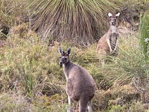 Kangaroos-by-Tony-Inman